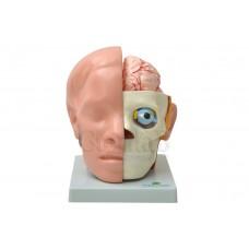 Cabeça em 10 Partes C/ Cérebro